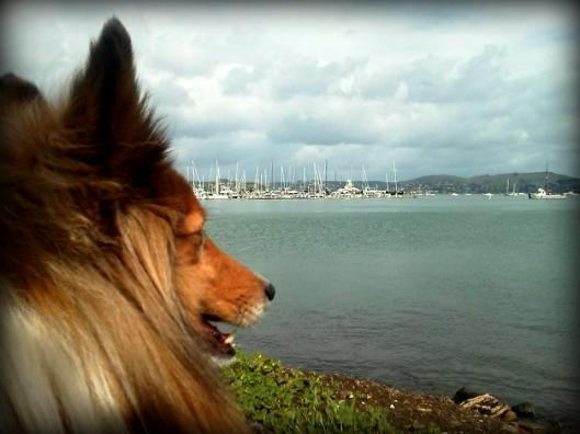 Lucky, the dog of me gazing upon Richardson Bay in Sausalito, California.  March 27, 2014.  photo by me.