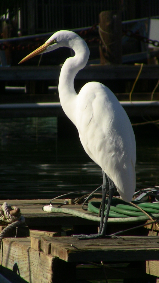 an egret.  photo by Greg Frucci, October 5, 2014